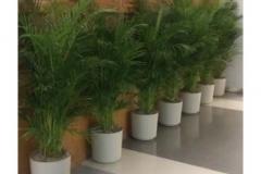 ficus-trees
