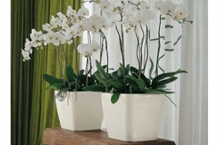 white-orchids